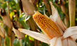 cornstalk-300x201_small